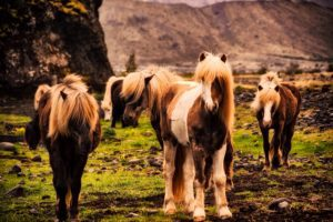 konie islandia