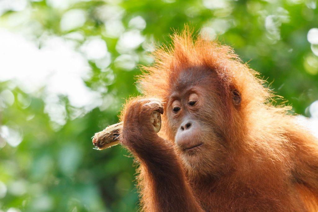 sanktuarium orangutanów borneo