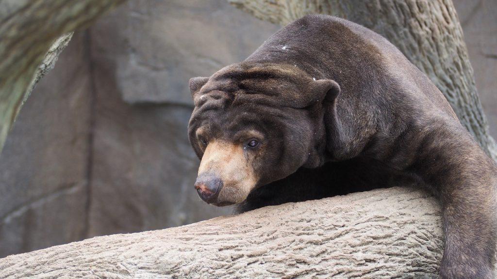 Sanktuarium Niedźwiedzi Malezyjskich
