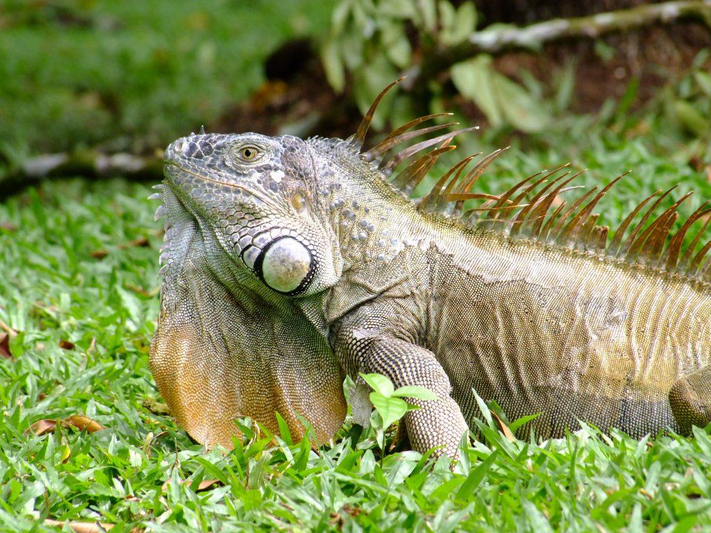 Jaszczurka w Kostaryce