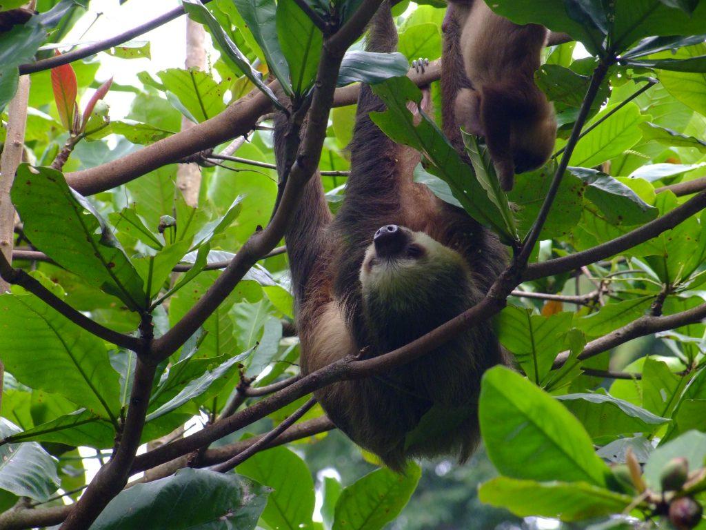 leniwiec w Kostaryce