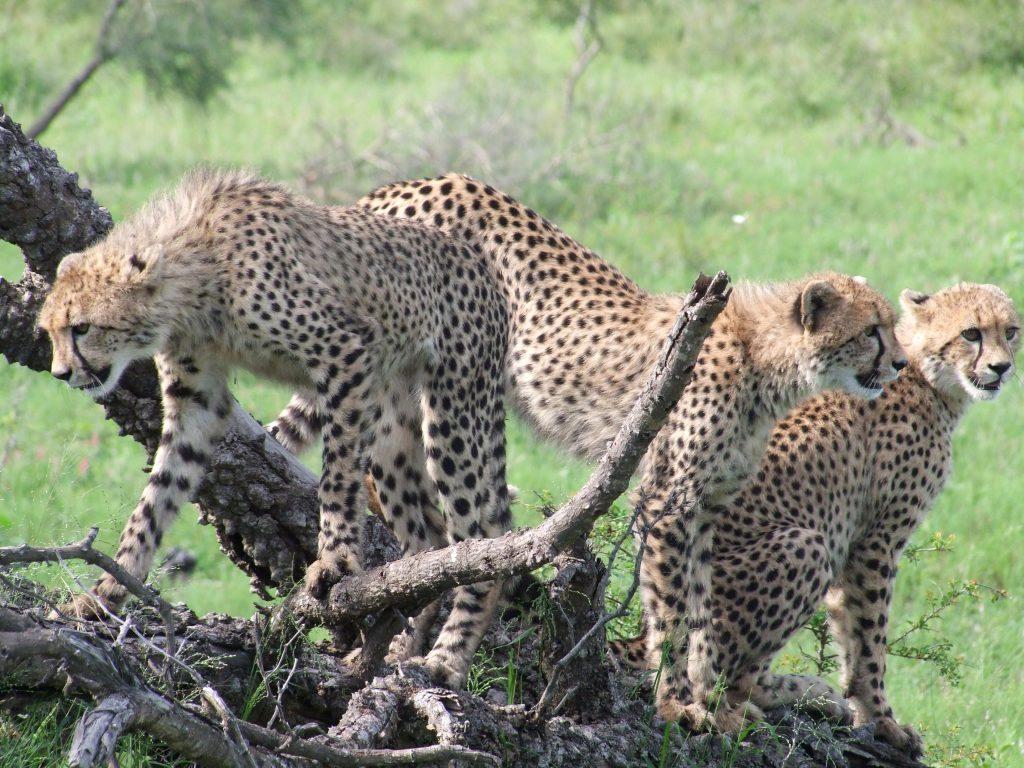 Gepart w Parku Krugera