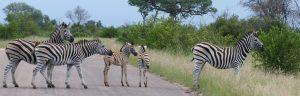 Zebra crossing w Rpa