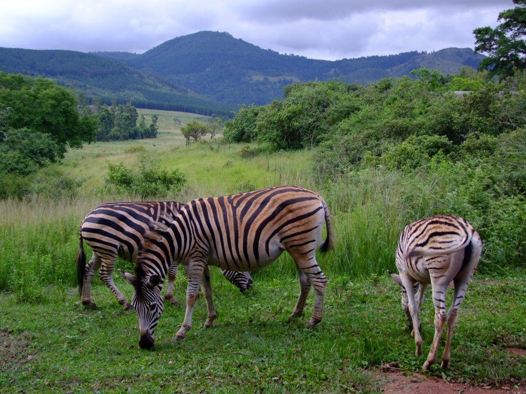 Zebry w Suazi