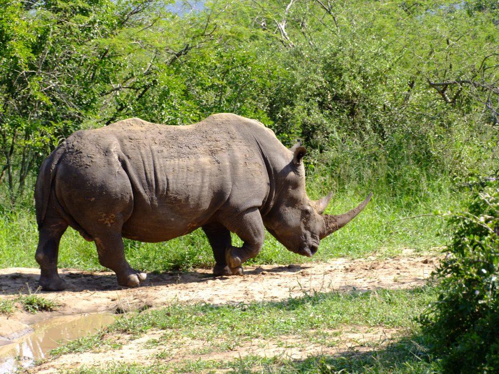 Nosorożec w Rpa