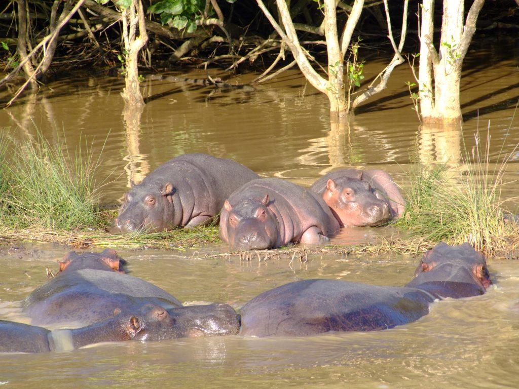 Hipopotamy w Rpa