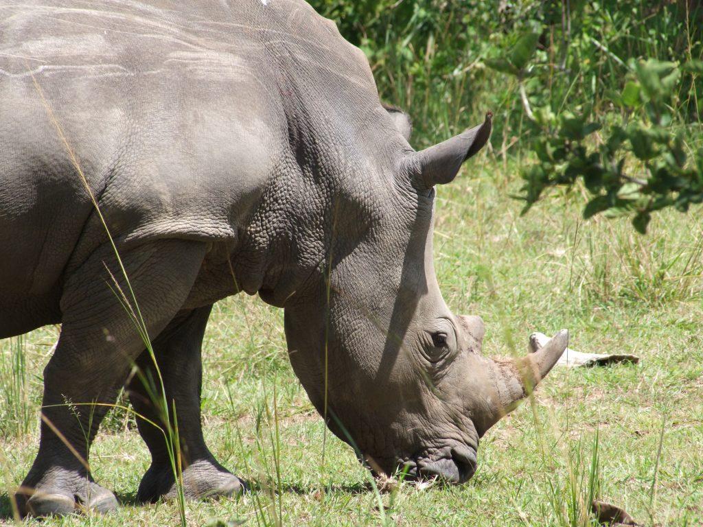 Nosorożec Uganda
