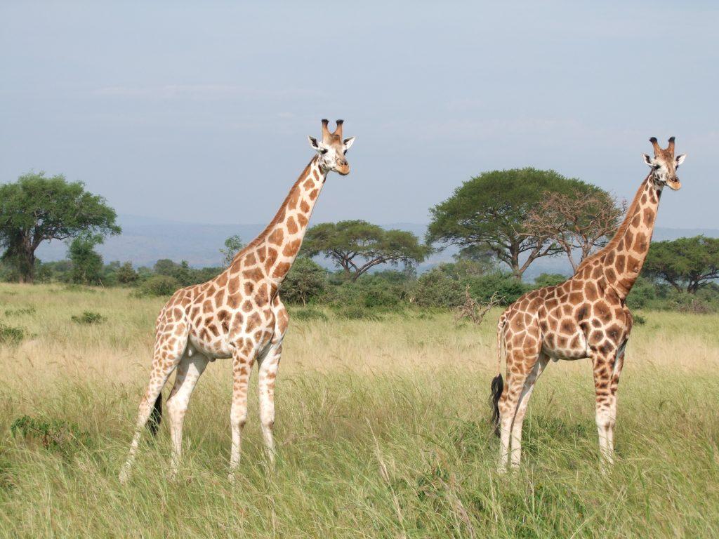 Żyrafy w Parku Murchison Fallas. Uganda