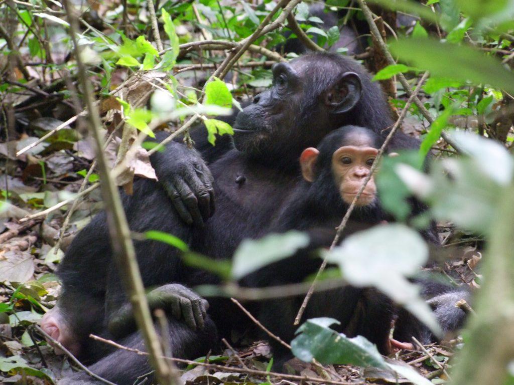 Szympanse w Ugandzie