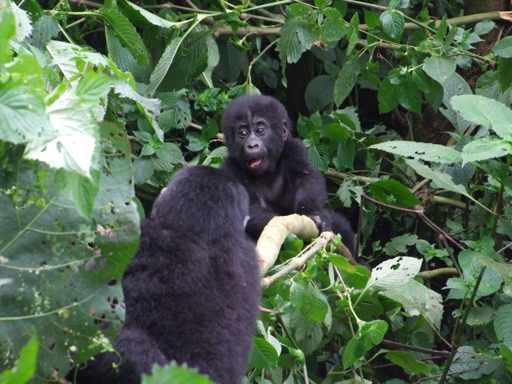 Goryle w Bwindi
