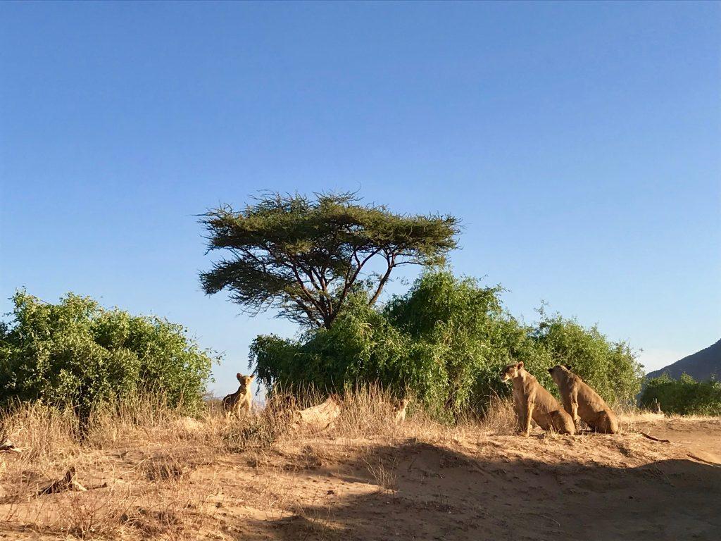 Lwy w Parku Samburu