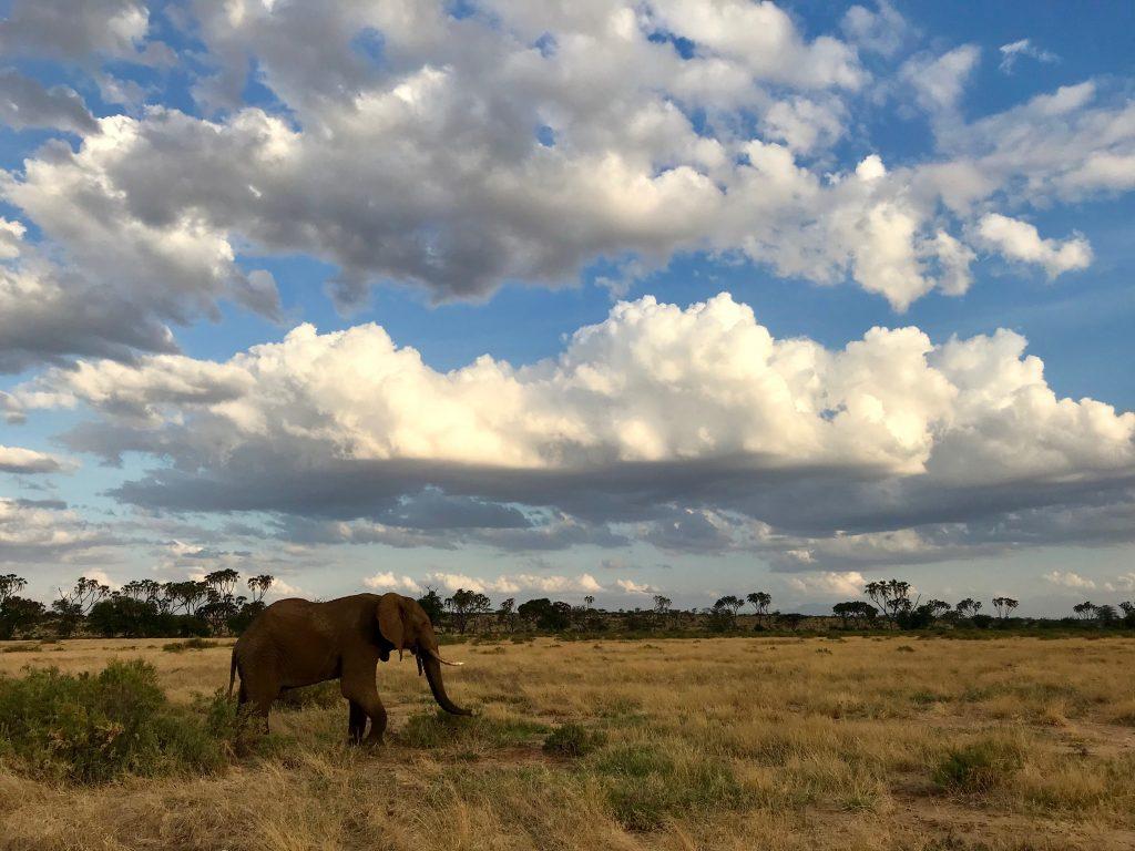 Słoń w Rezerwacie Samburu