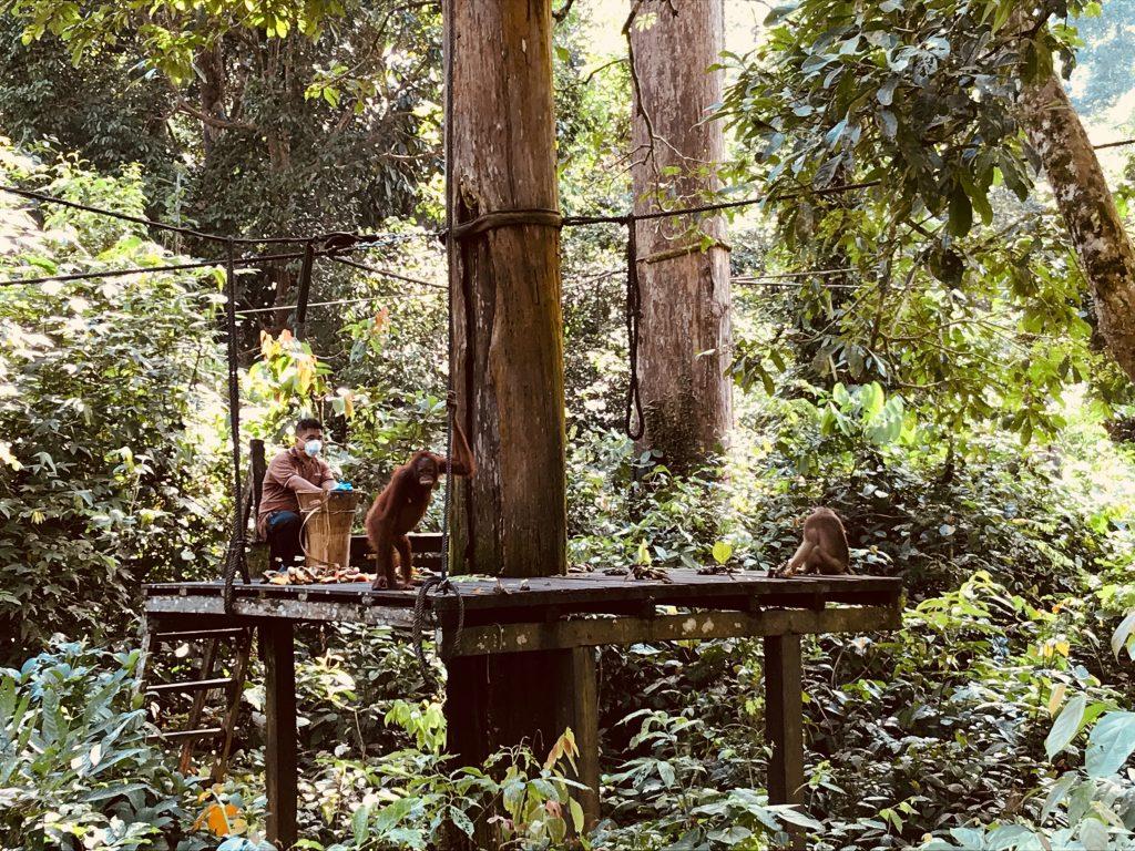 Orangutany w Sanktuarium na Borneo