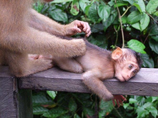 Makaki na Borneo