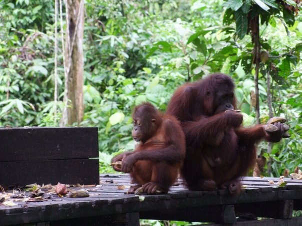 Snaktuarium dla orangutanów na Borneo