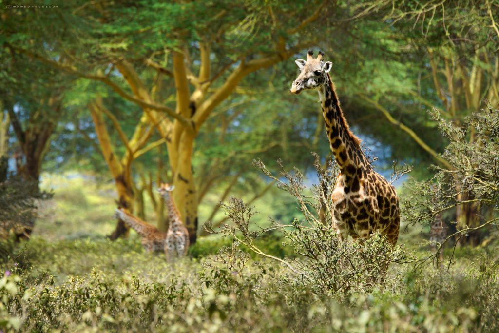 żyrafa tanzania