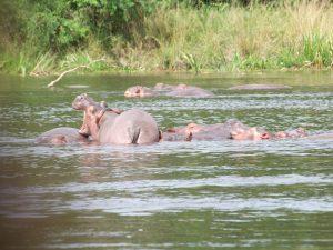 Uganda hipopotamy